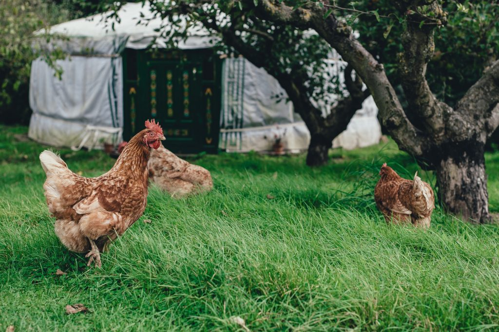 Keeping Chickens-Why You Will Love Rural Living