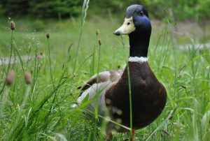 ducks are useful for a First-Time Rural Gardener