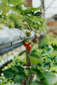 Vertical growing a  useful method for a First-Time Rural Gardener