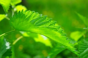 Stinging Nettles Have Many Uses-Why Plant Identification Is Important For Your Rural Life