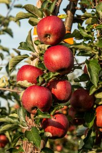 Apples Are Perfect Superfoods