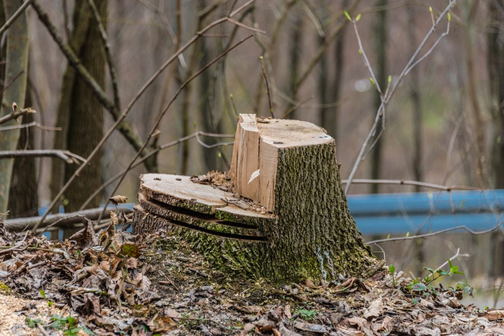 Careful Planning Of Where And How To Cut Lets You Safely Fell A Tree Losing Your Life While Gathering Your Winter Fuel