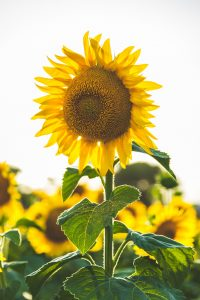Sunflowers Attract Birds That Will Eat Unwanted Insects
